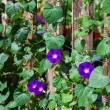 Stock Photo: Morning Glories