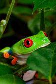 Red Eyed Tree Frog Closeup — Stock Photo