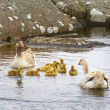 Geese and 4 day old gooslings swimming in pond — Stock Photo