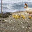 Geese and 4 day old gooslings walking on rock - Stock Photo
