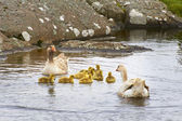 Geese and 4 day old gooslings swimming in pond — Stockfoto