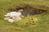 Geese and 4 day old gooslings — Stock Photo
