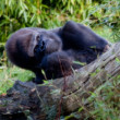 Silverback mountain gorilla — Stock Photo