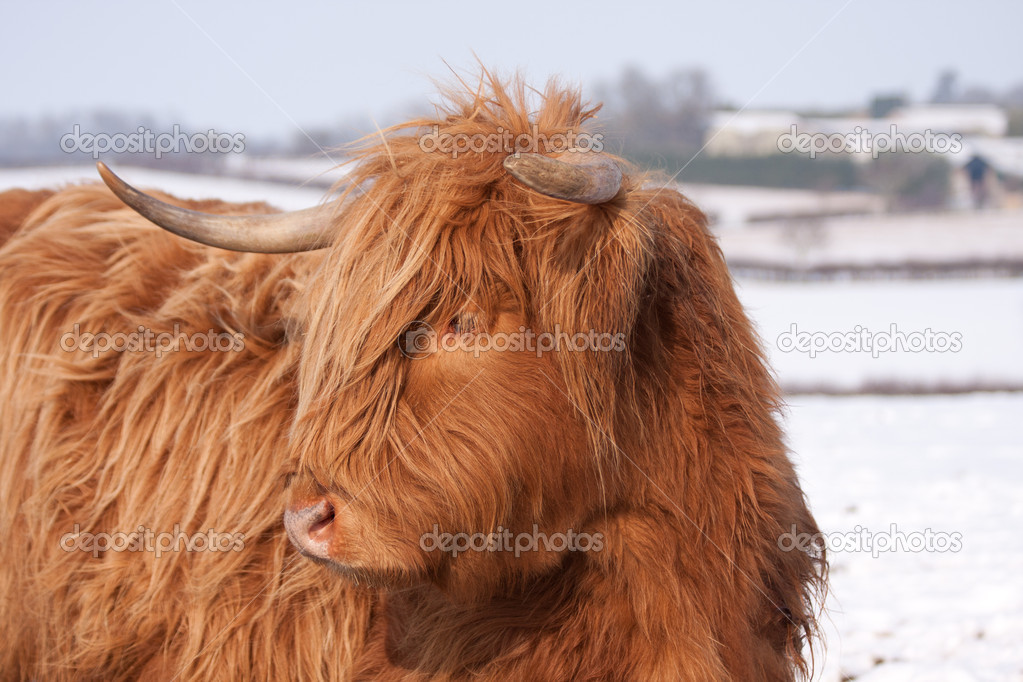 Highland cow in snow — Stock Photo #8994410