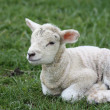 Stock Photo: Baby lamb