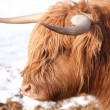 Scottish highland cow - Stock Photo