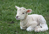 Baby lamb — Stock Photo