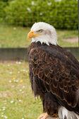 Yırtıcı Kuş — Stok fotoğraf