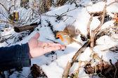 Robin rudzik — Zdjęcie stockowe