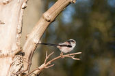 Long-tail tit — Stock Photo