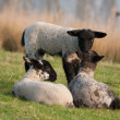 Stock Photo: Lambs