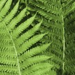 Stock Photo: Fern background