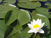 Big white water lily — Stock Photo