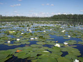 River with white water lilies — Stock Photo