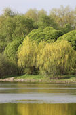 Willows on the river bank — Stock Photo