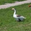 Domestic geese in the village — Stock Photo