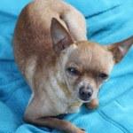 Heartfelt look of a toy terrier — Stock Photo
