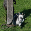 Smiling goat — Stock Photo #8971090