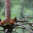 Squirrel on the pine branch — Stock Photo #8971091