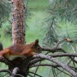 Squirrel on the pine branch — Stock Photo