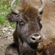 Big head of bison - Stock Photo
