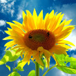 Smiling sunflower )) Bumblebees — Stock Photo #9035272