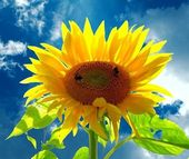 A smiling sunflower )) Bumblebees — Stock Photo