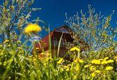 Dandelions house spring — Stock Photo