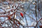 Dogrose buz — Stok fotoğraf