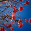 Mountain ash autumn - Stock Photo