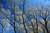 Tree branches and blue sky — Stock Photo