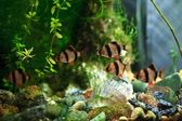 Barbus aquarium — Stock Photo