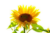A smiling sunflower — Stock Photo
