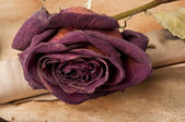 An old scroll and dried rose on grunge background — Stock Photo