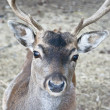 Deer in forest closeup — Stock Photo