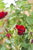 Red rosebud in the garden — Stock Photo