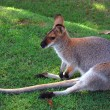 Wallaby — Stock Photo #8955851