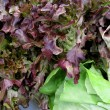 Stock Photo: Fresh red lettuces