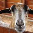 Royalty-Free Stock Photo: Closeup of a goat on a farm, full of details