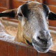 Closeup of a goat on a farm, full of details — Stock Photo #9866343