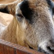 Stock Photo: Closeup of a goat on a farm, full of details