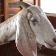 Closeup of a goat on a farm, full of details — Stock Photo #9866358