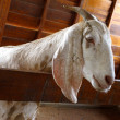 Closeup of a goat on a farm, full of details — Stock Photo #9866367