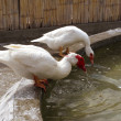 White ducks on a farm drinking water — Stock Photo