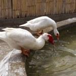 White ducks on a farm drinking water — Stock Photo #9866382