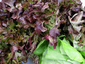 Fresh red lettuces — Stock Photo