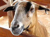 Closeup of a goat on a farm, full of details — Stock Photo