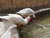 White ducks on a farm drinking water — Stock Photo