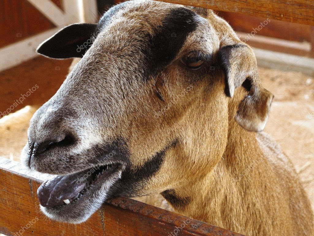 Closeup of a goat on a farm, full of details — Stock Photo #9866380