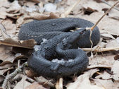 "Snake ""black adder"" — Stock Photo"